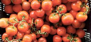 Kilbush-tomatoes-720x337